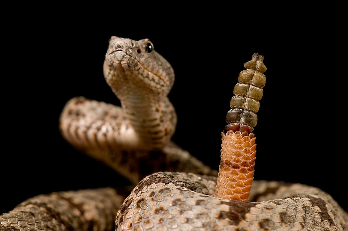 5 Of The Most Common Myths About Rattlesnakes