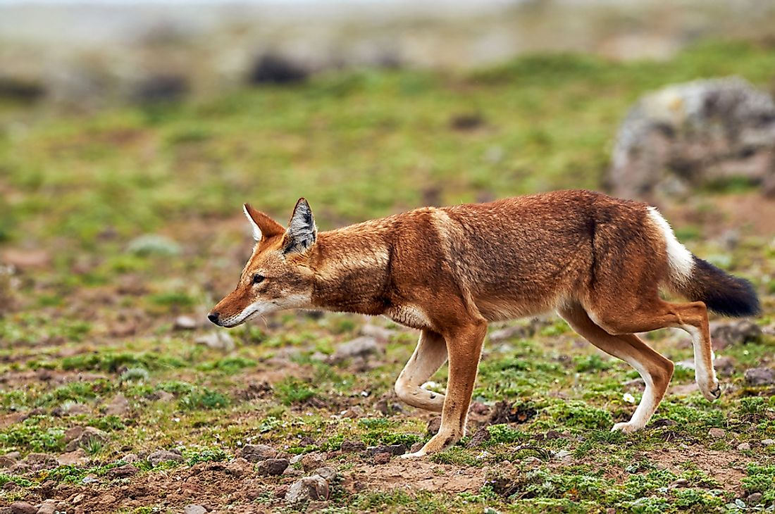 Ethiopian Wolf Facts - Animals of Africa