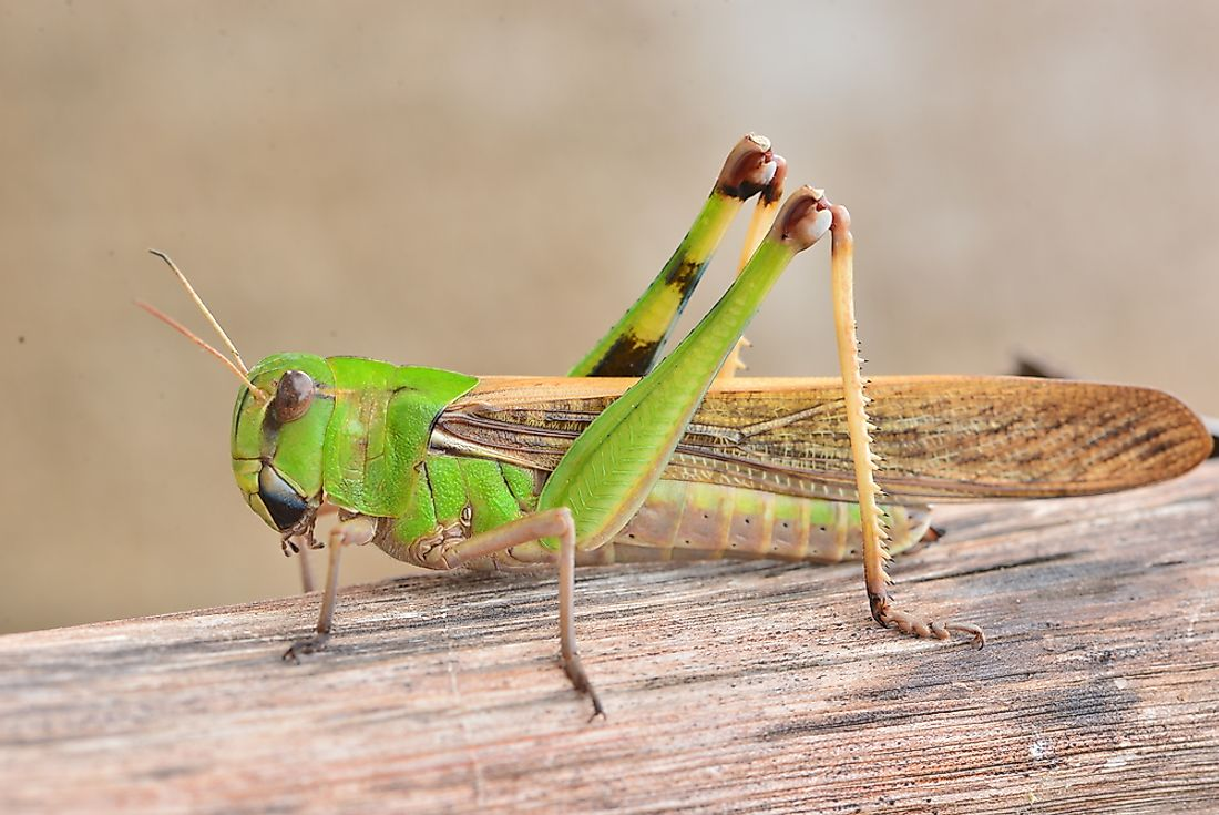 What is the Difference Between Grasshoppers and Locusts?