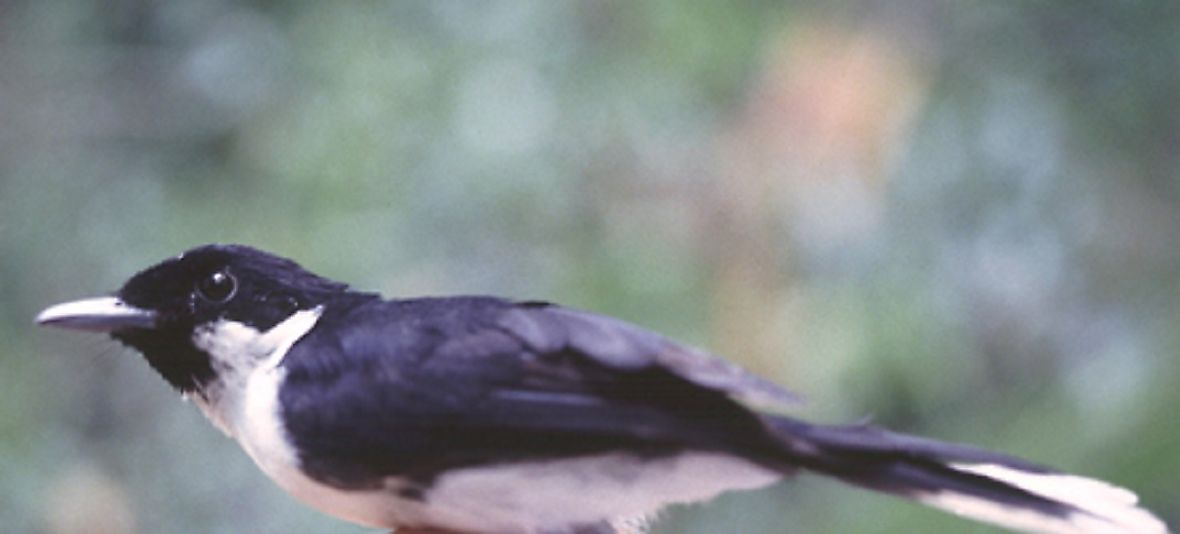 Indonesia's Critically Endangered Endemic Birds