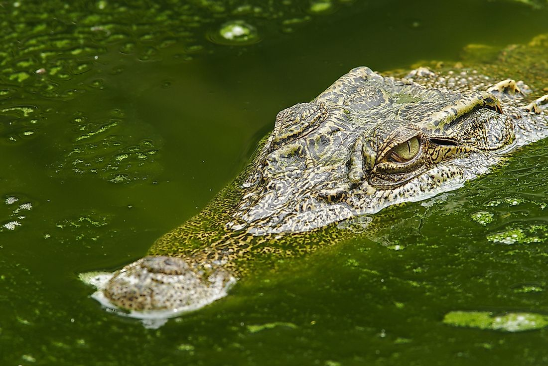 The 7 Species Of Crocodilians On The Brink Of Extinction