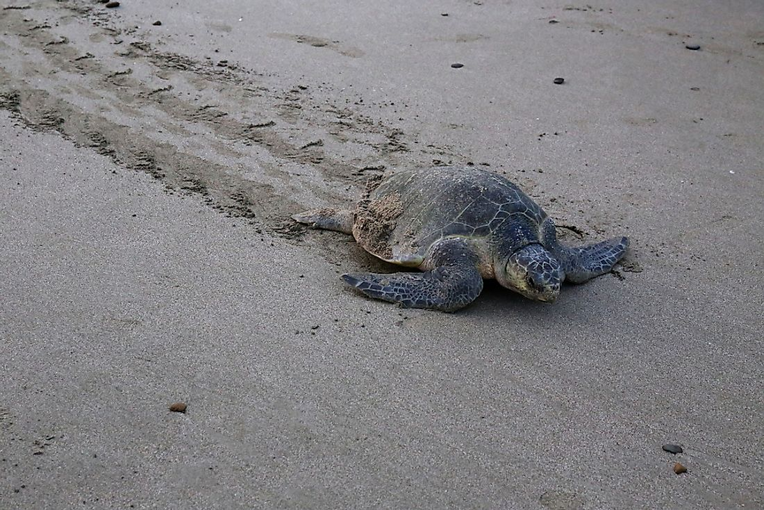 Olive Ridley Sea Turtle Facts: Animals of North America