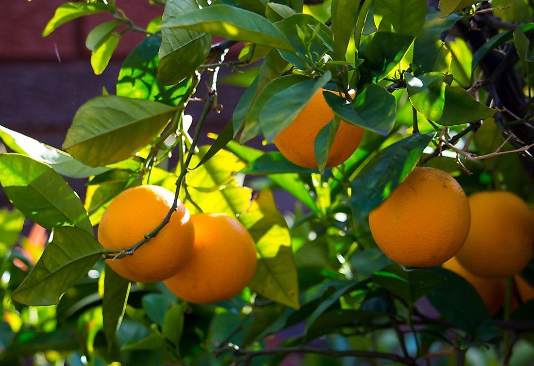 What Is A Fruit Salad Tree Worldatlas Com