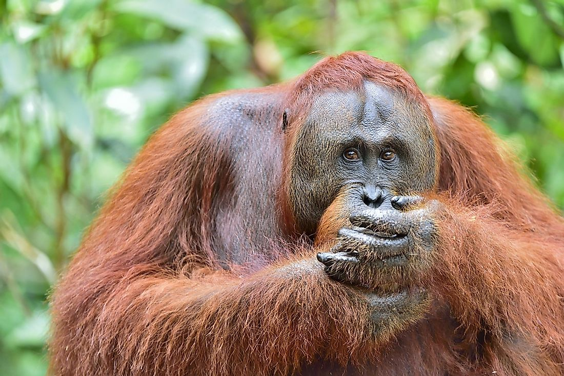 Where Do Orangutans Live?