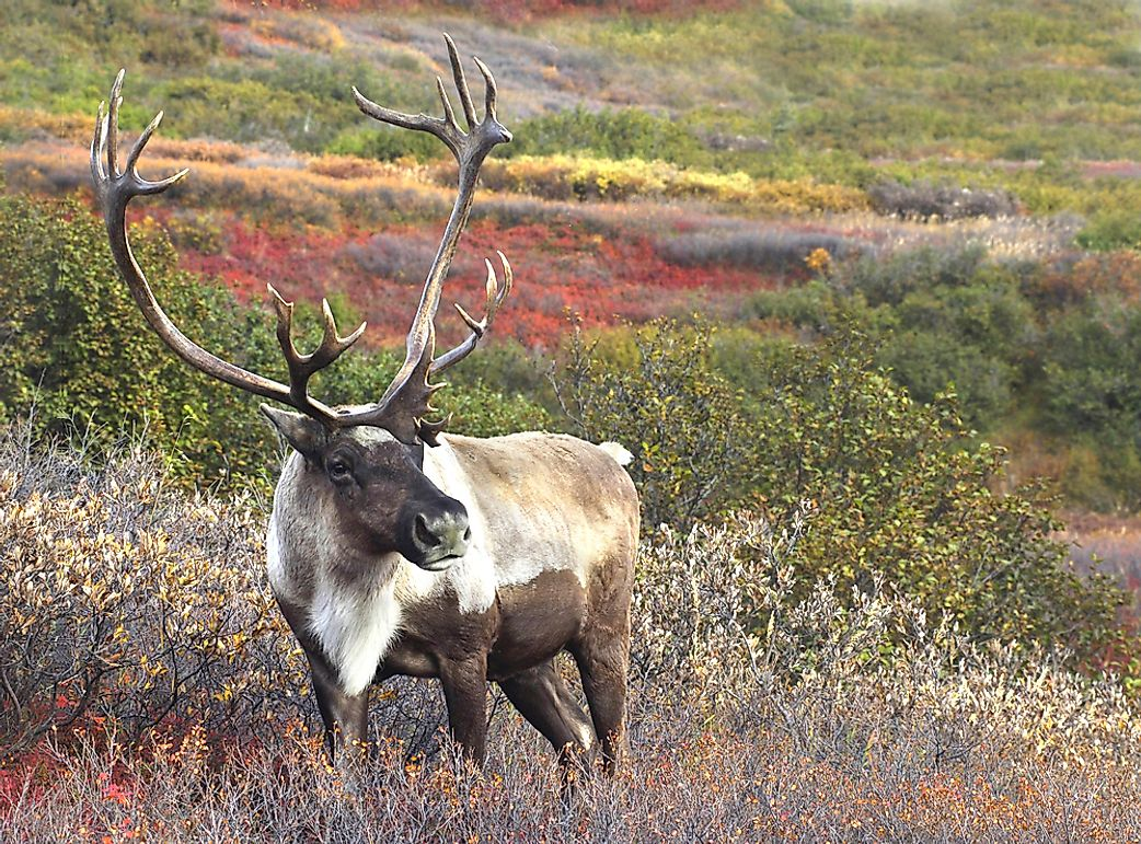 Are Caribou and Reindeer the Same Animal?