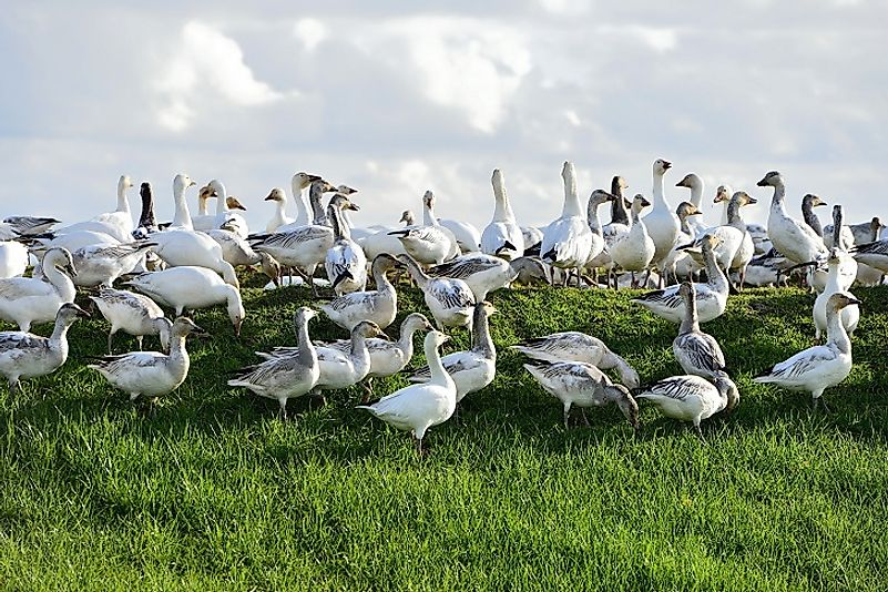 Snow Goose Facts: Animals of North America