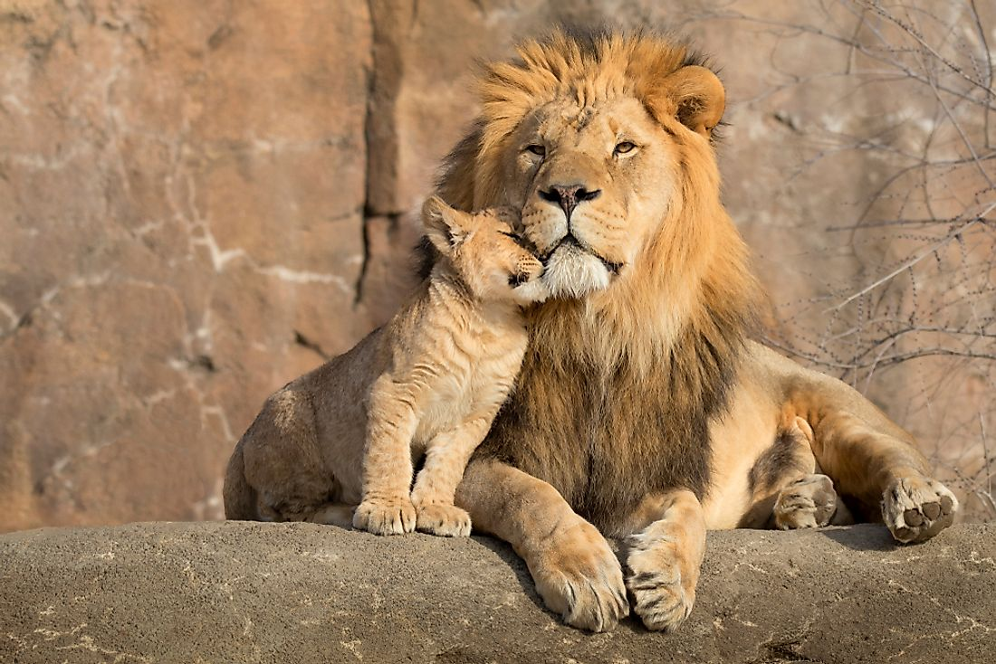 What Different Types Of Lions Are There? - WorldAtlas com