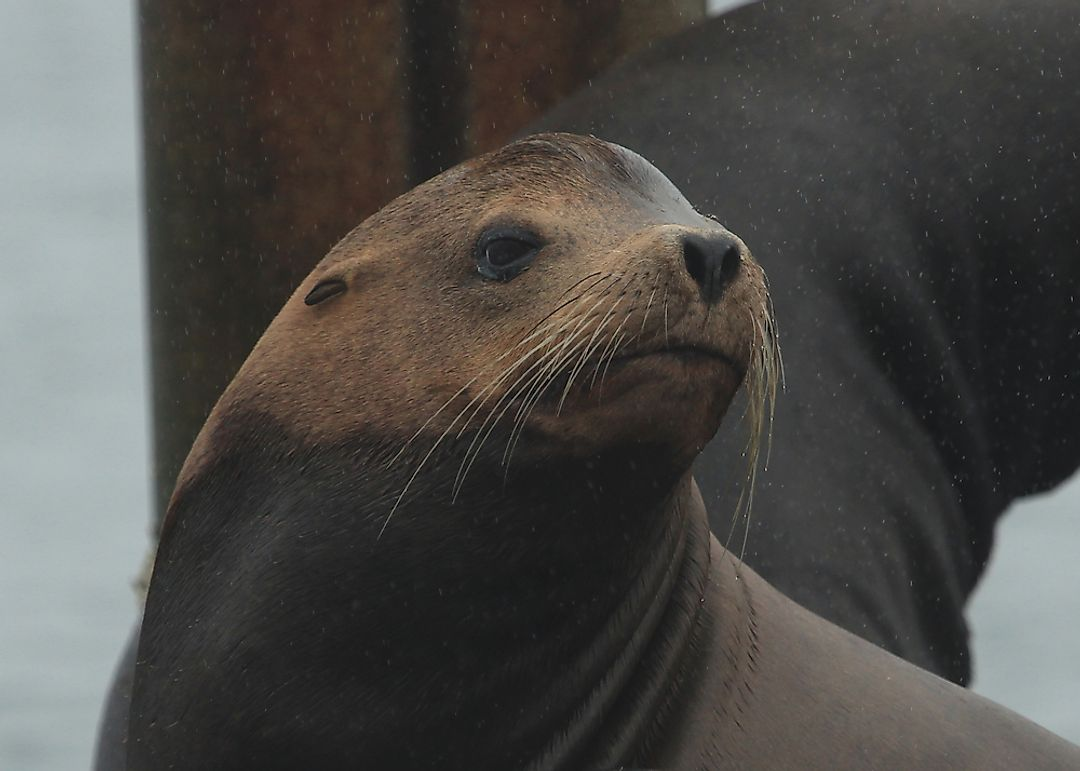 California Sea Lion Facts: Animals of North America