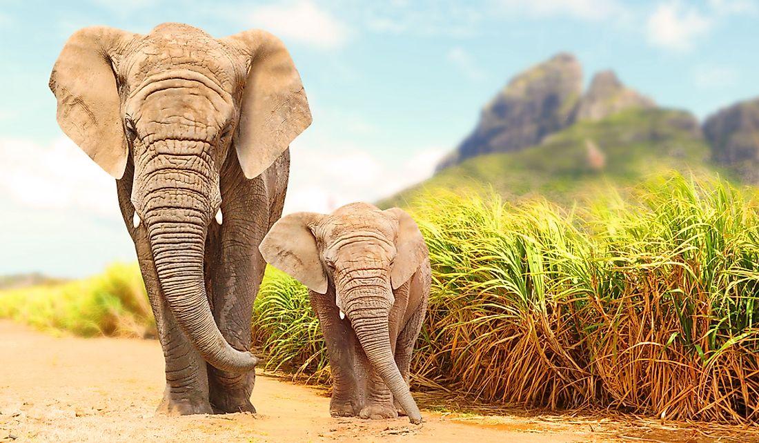 Fun Elephant Facts