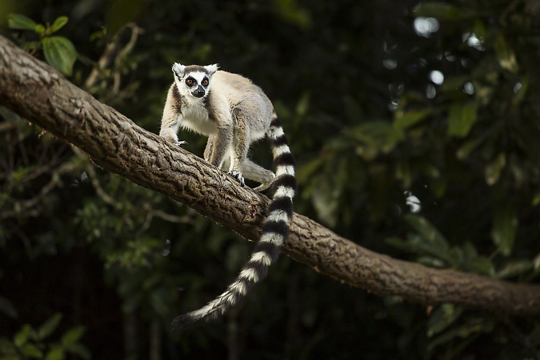 Lemurs are found in highly forested areas.