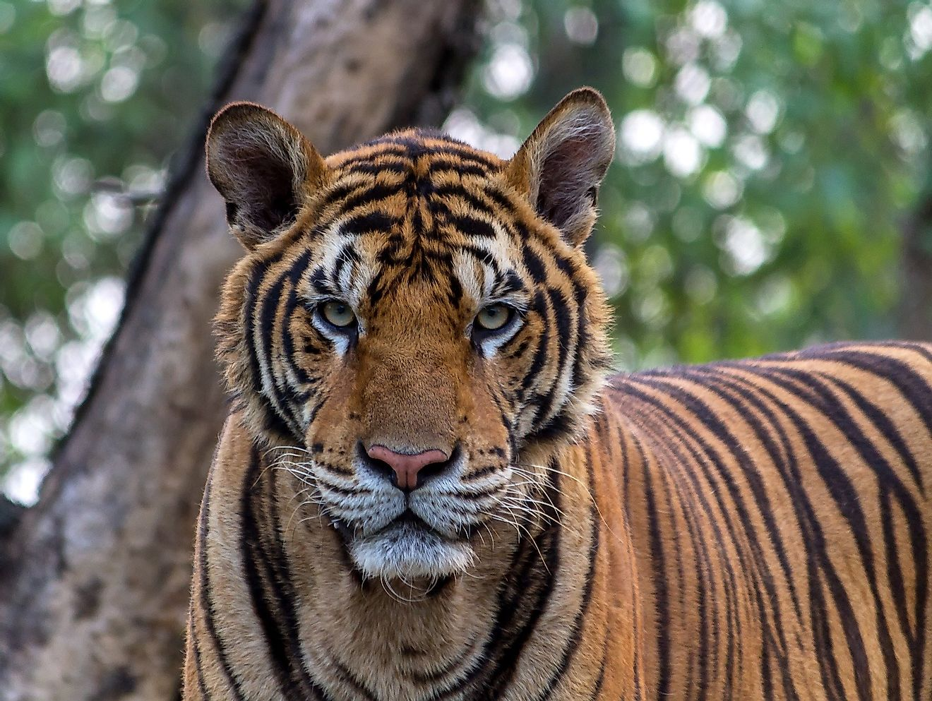 The Bengal tiger is the undisputed ruler of the Indian jungles.