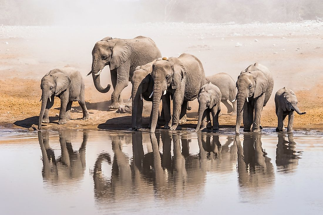 The number of elephants in the world is quickly declining.