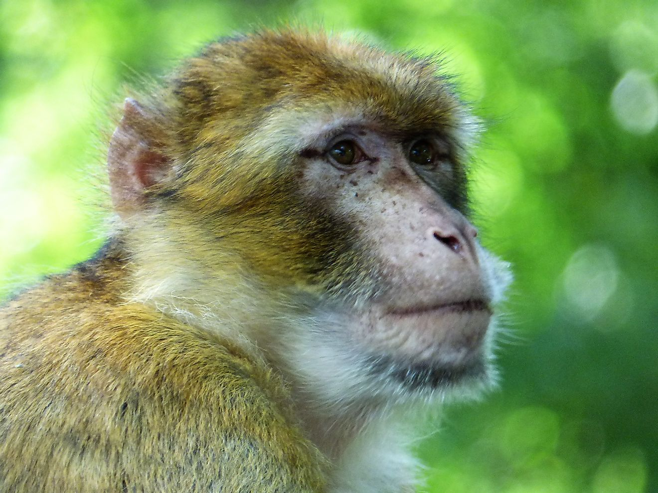 The barbary macaque is a mammal that can be found in Algeria.