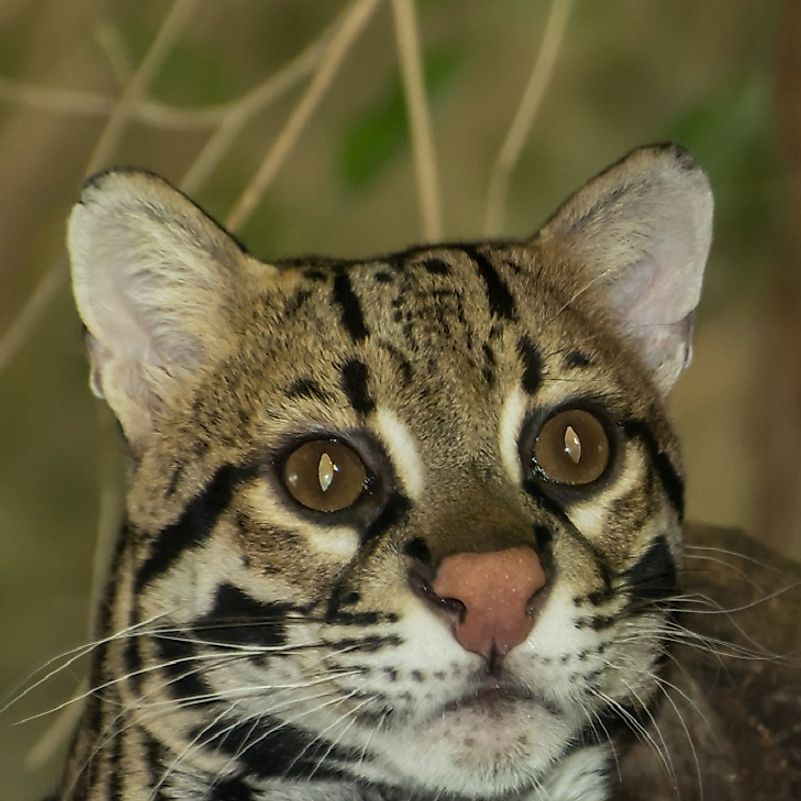 An Ocelot in an Amazon Rainforest region of Brazil.