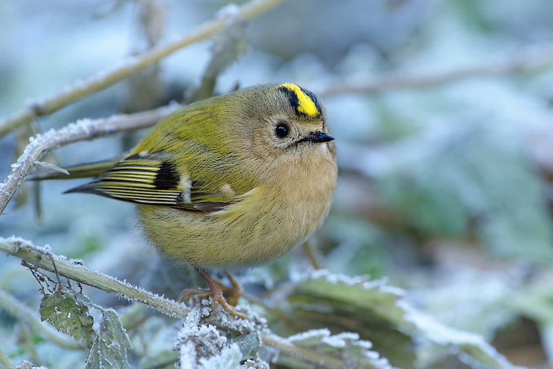 Goldcrest - Regulus regulus sitting on the branch in cold winter