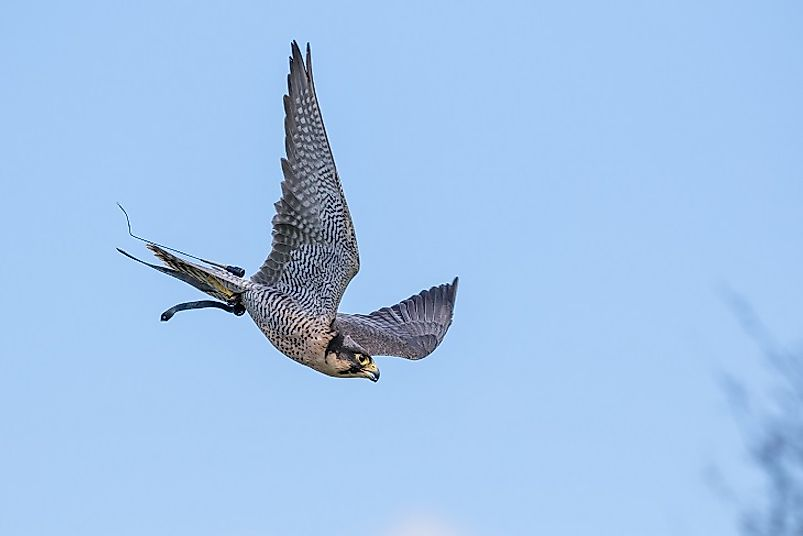 A Peregrine Falcon swooping downward in mid-flight.