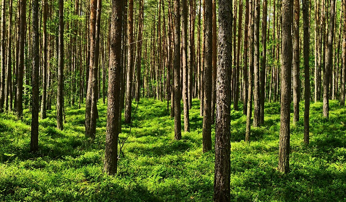Evergreen coniferous pine forest in Pomerania, Poland.