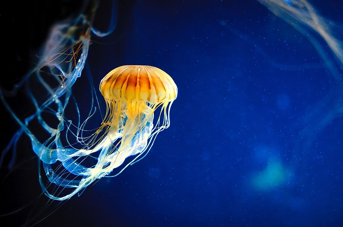 Jellyfish are examples of osmoconformers.