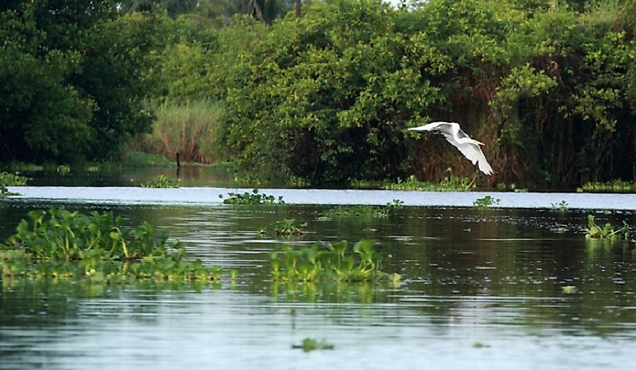 A Great White Egret flying over a mangrove swamp in Guatemala.