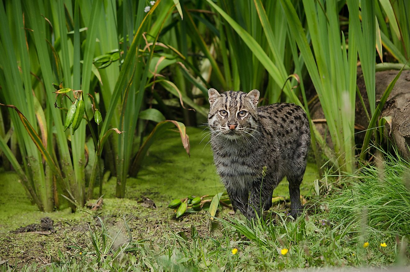 A fishing cat (Prionailurus viverrinus) is a small wild cat species living in parts of South and Southeast Asia.