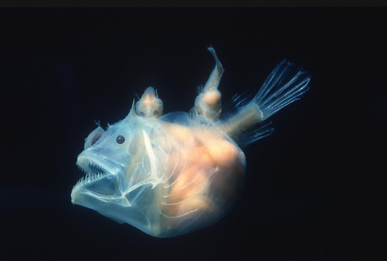 The male anglerfish are notably smaller than the females, and they do not use the same bait females do to hunt.
