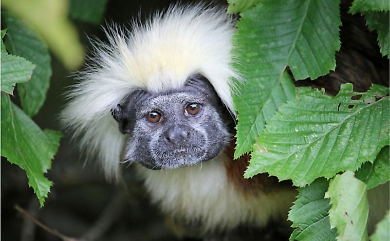 The cotton-top tamarin has every reason to be afraid of humans.