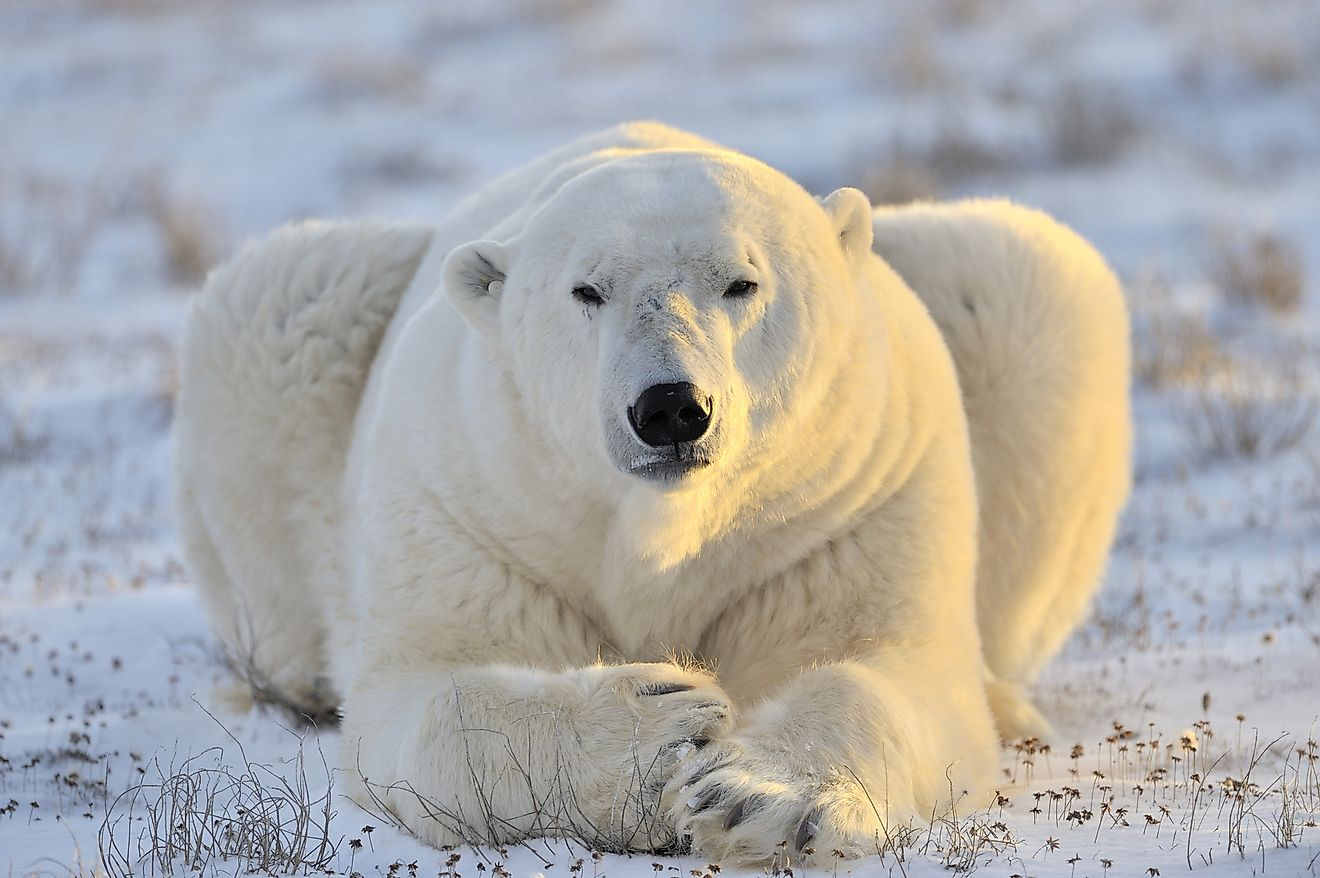 Polar bears are highly threatened by climate change. According to science, we would lose them by 2100.
