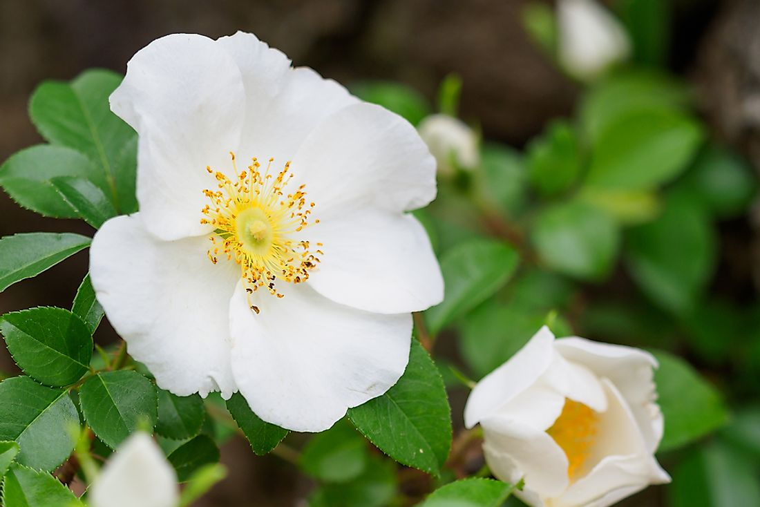 The Cherokee Rose was introduced to the area in the late 18th century.