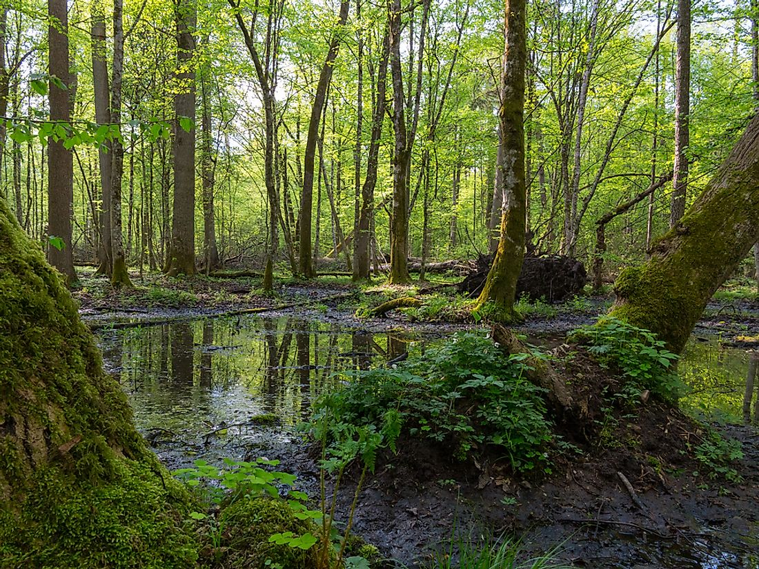 Ancient oaks of the Białowieża Forest. Photo credit: shutterstock.com.
