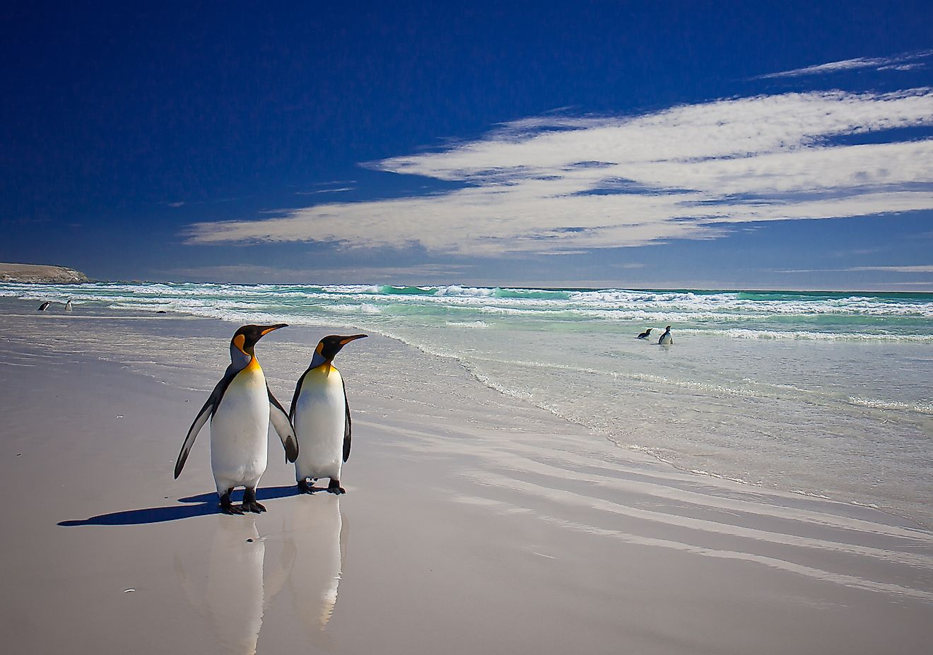 King Penguins at Volunteer Point on the Falkland Islands. Image credit: Neale Cousland/Shutterstock.com
