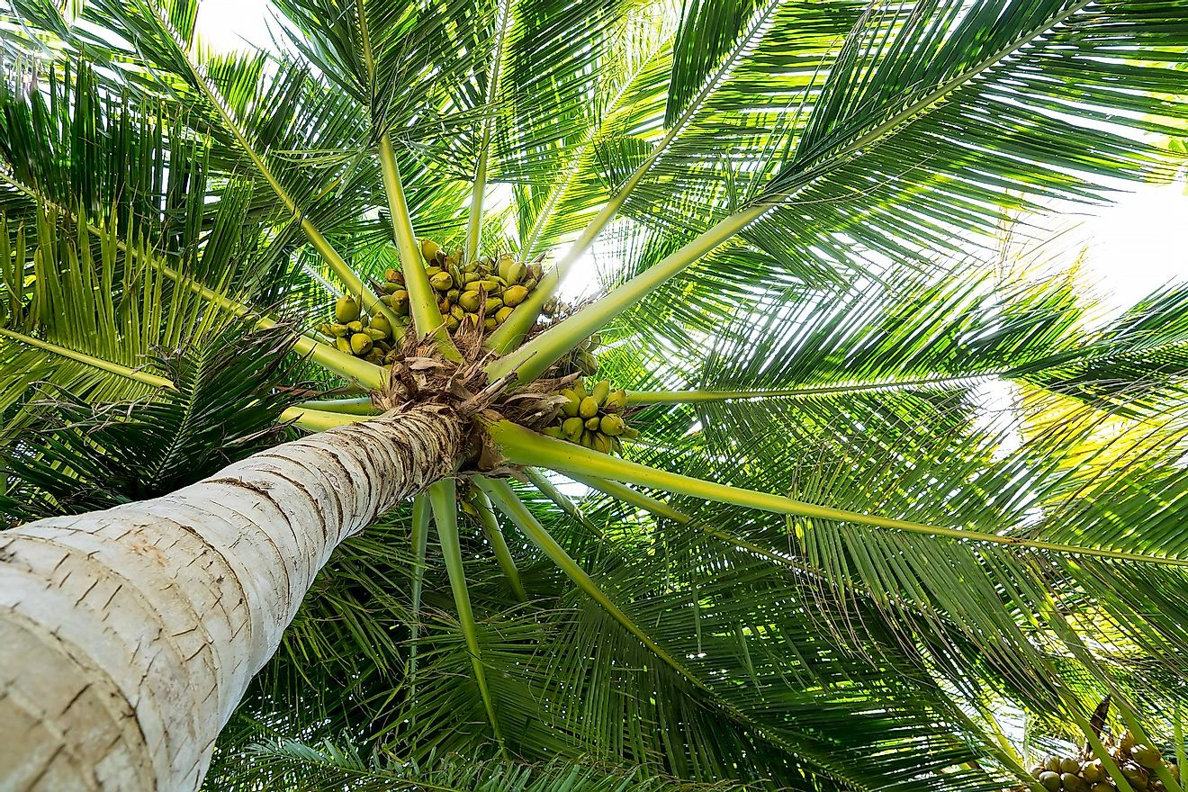 Palm full of coconuts on a beach in Maldives.