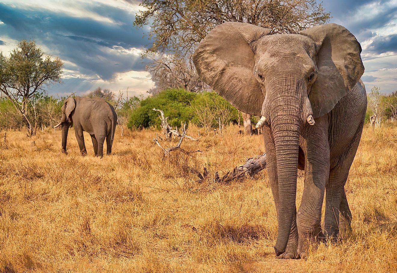 The African elephant is found in the African continent. Its ears are said to appear like the map of Africa.