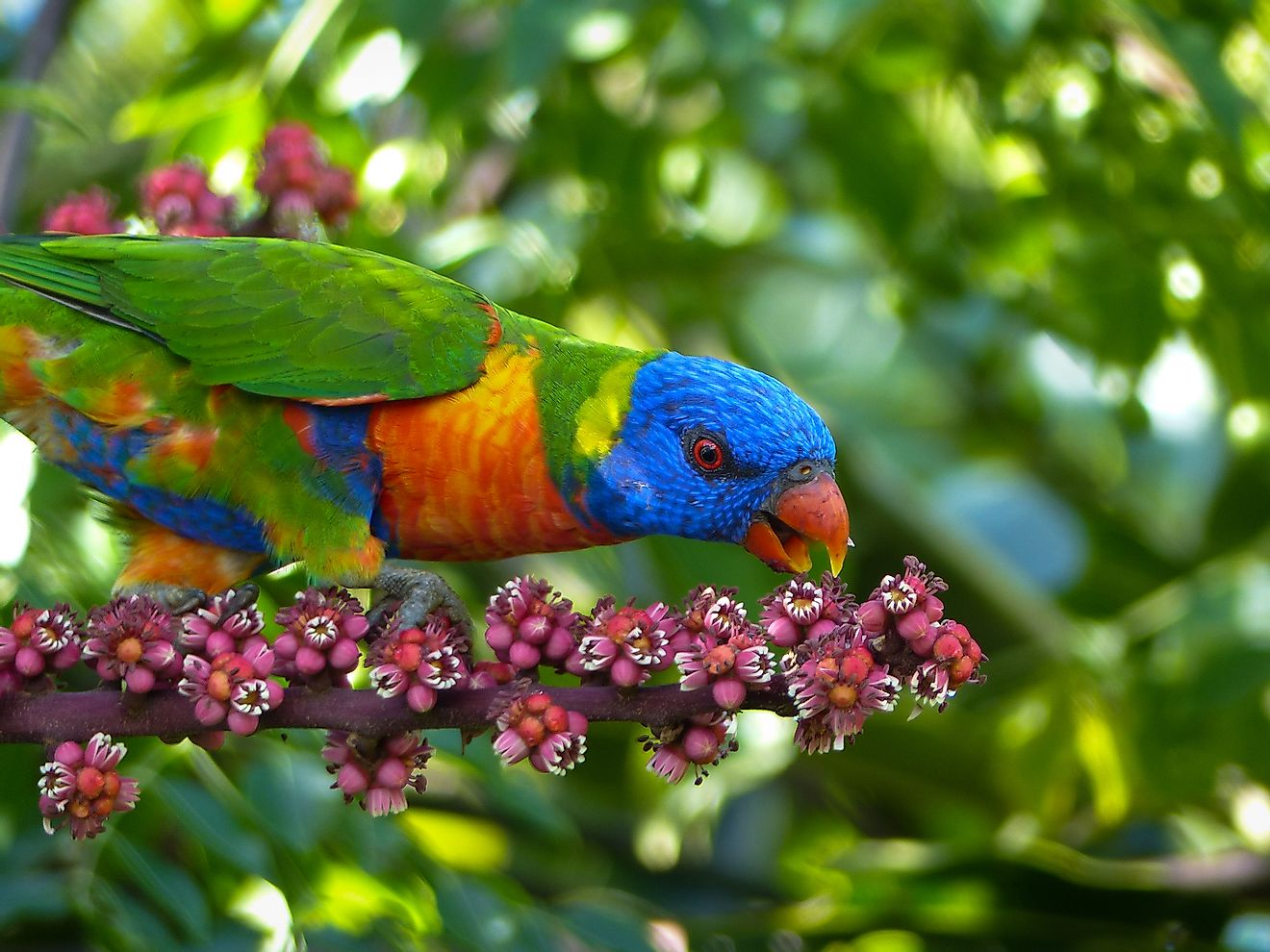 A rainbow lorikeet is a parrot species found in Australia.