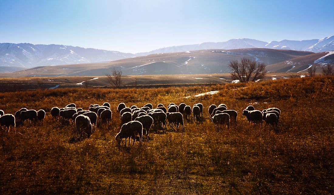 Flock of sheep grazing in the Tien Shan mountains, Kazakhstan.
