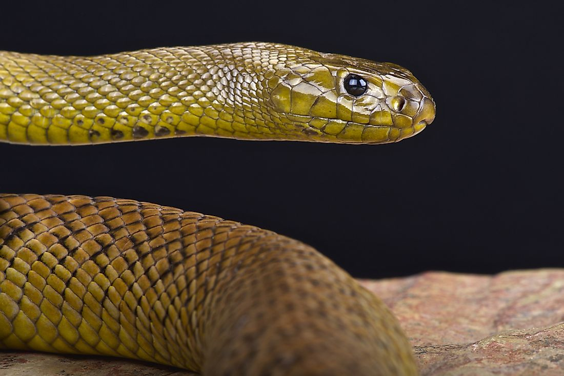 The inland taipan's venom is the deadliest in the world.