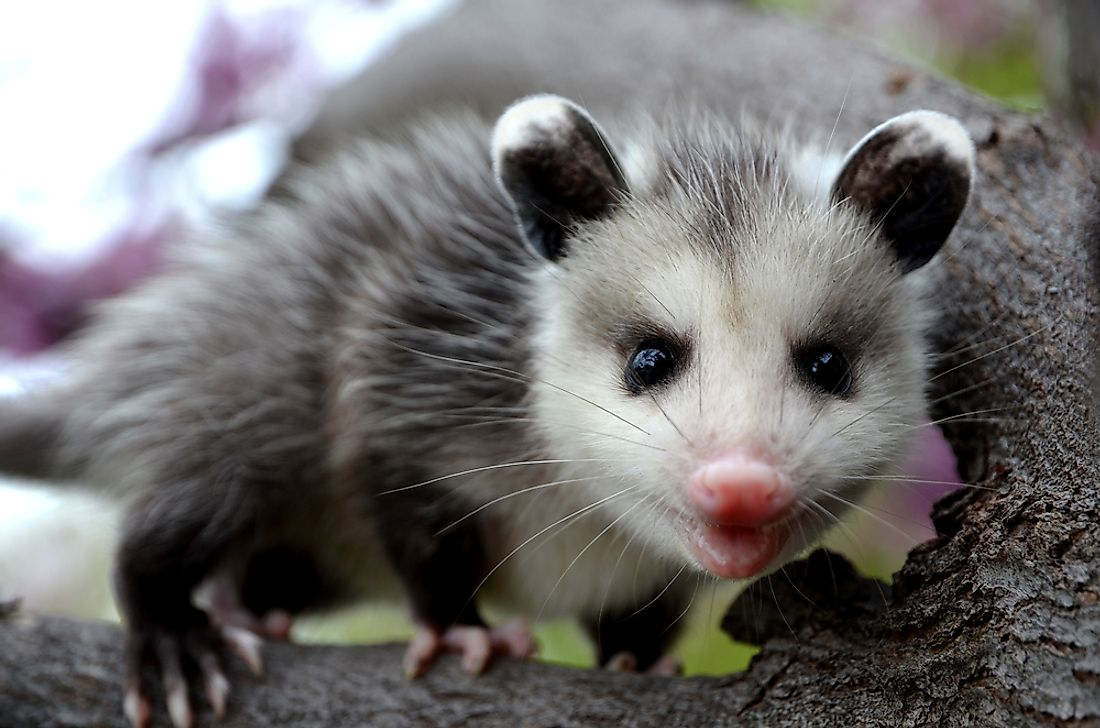 Baby opossum in a tree.