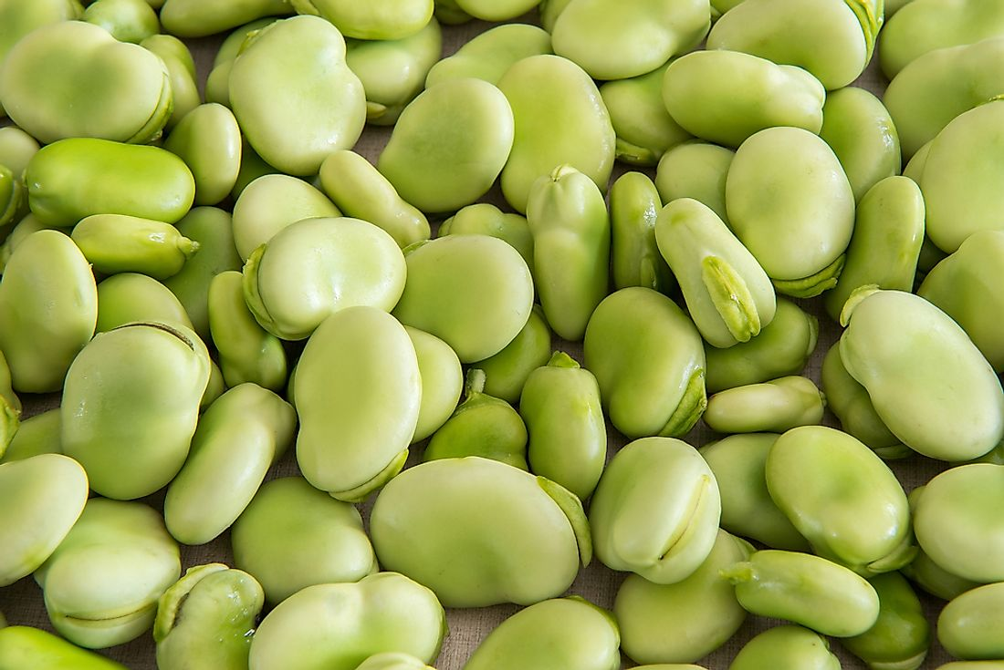 Lima beans are highly lethal if not properly prepared.
