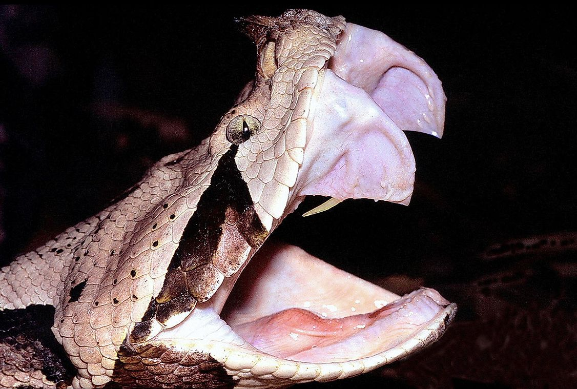 The Gaboon viper's fangs.