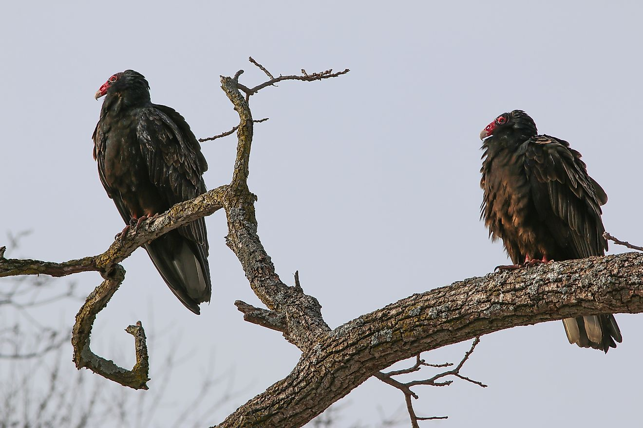 Vultures are seen resting on a tree branch.
