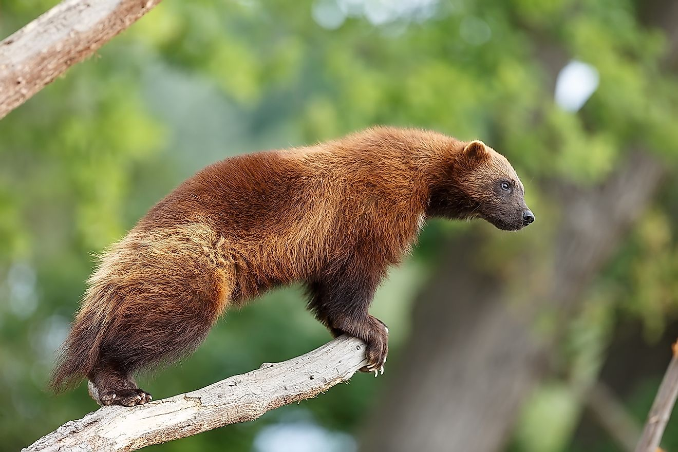 Wolverine looking out for prey. Image credit: Michal Ninger/Shutterstock.com