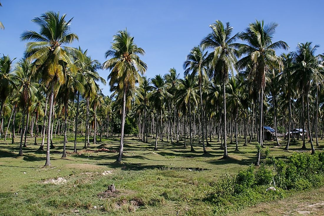 A coconut plantation in the Philippines.