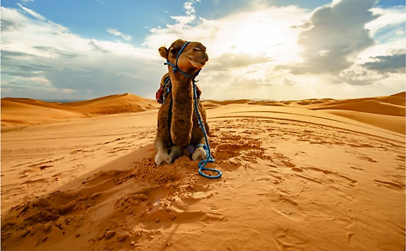 A dromedary camel in the Sahara Desert.