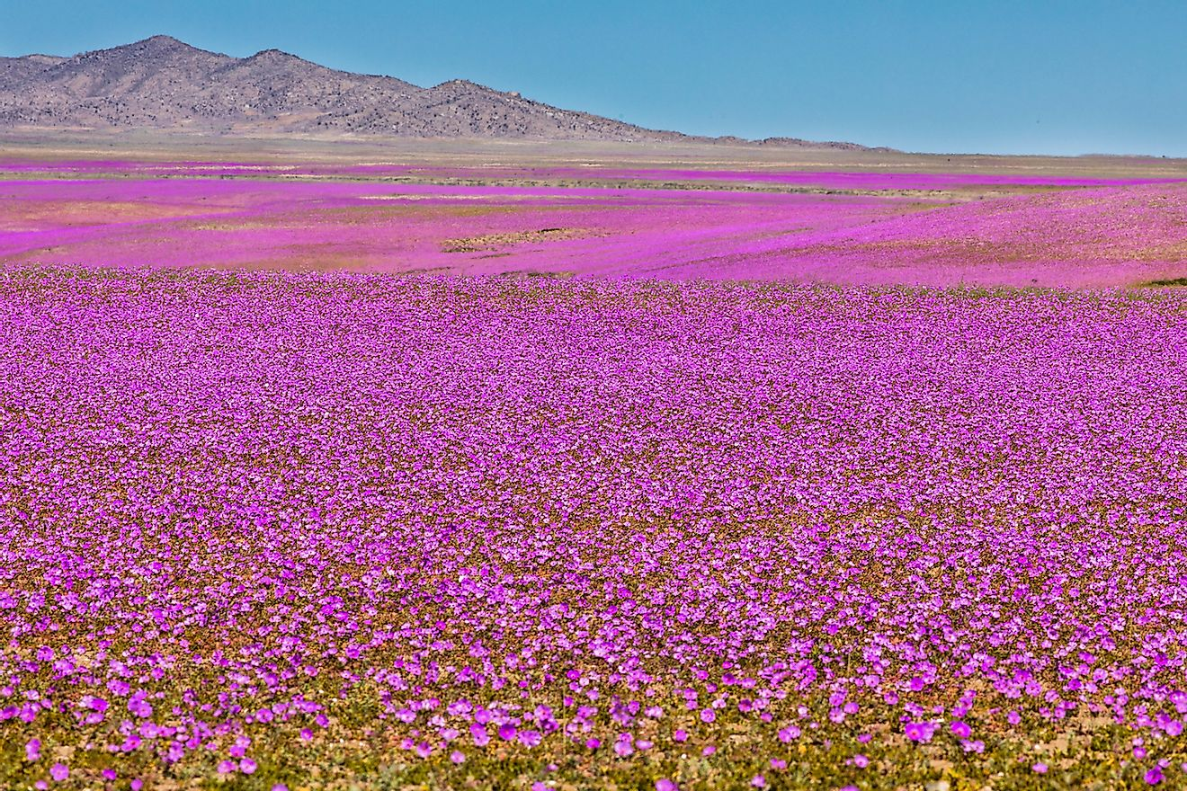 From time to time rain comes to Atacama Desert, when that happens thousands of flowers grow along the desert from seeds that are from hundreds of years ago. Image credit: Abriendomundo/Shutterstock.com