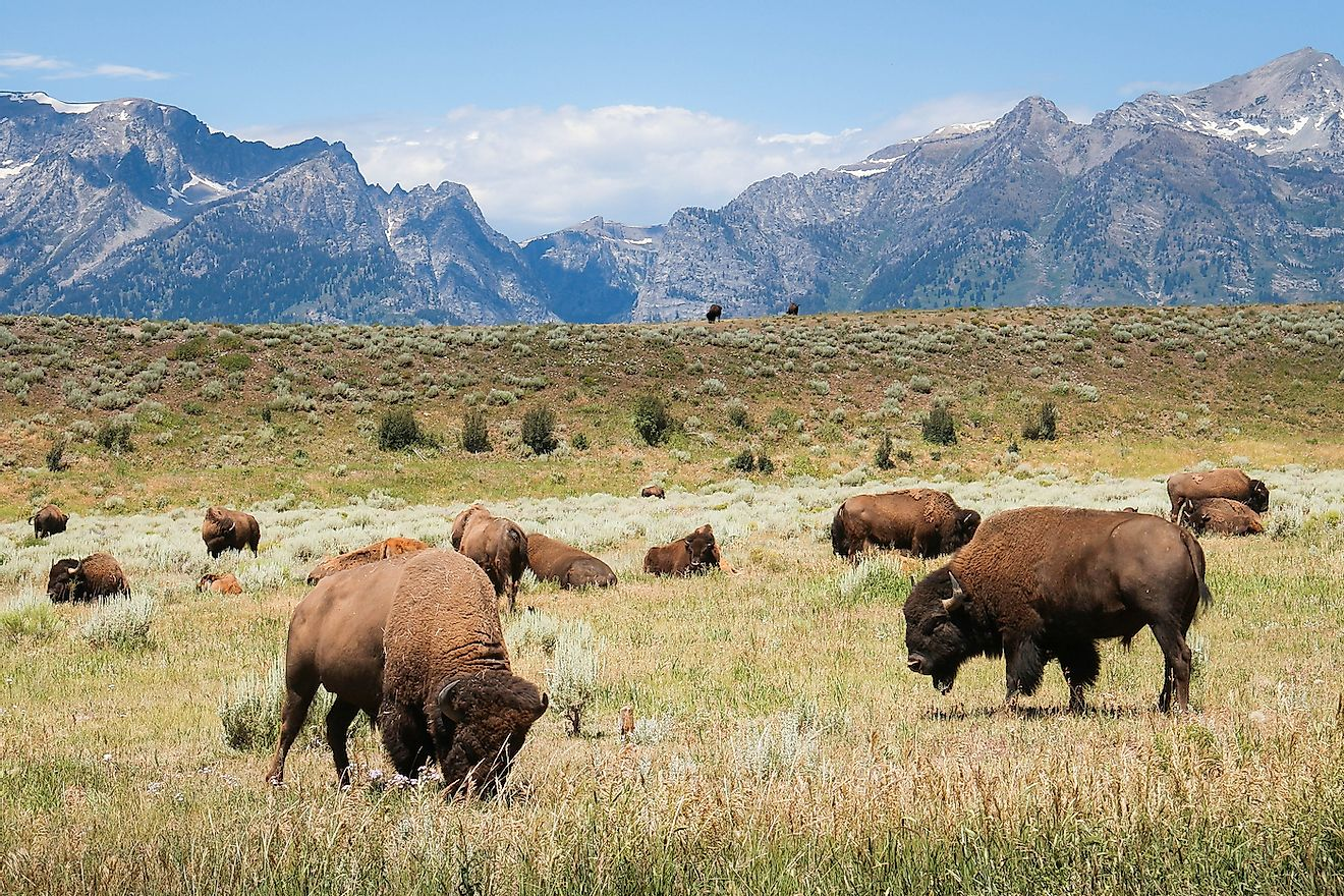 A herd of bison grazing in Yellowstone. Image credit: Theron Stripling III/Shutterstock.com