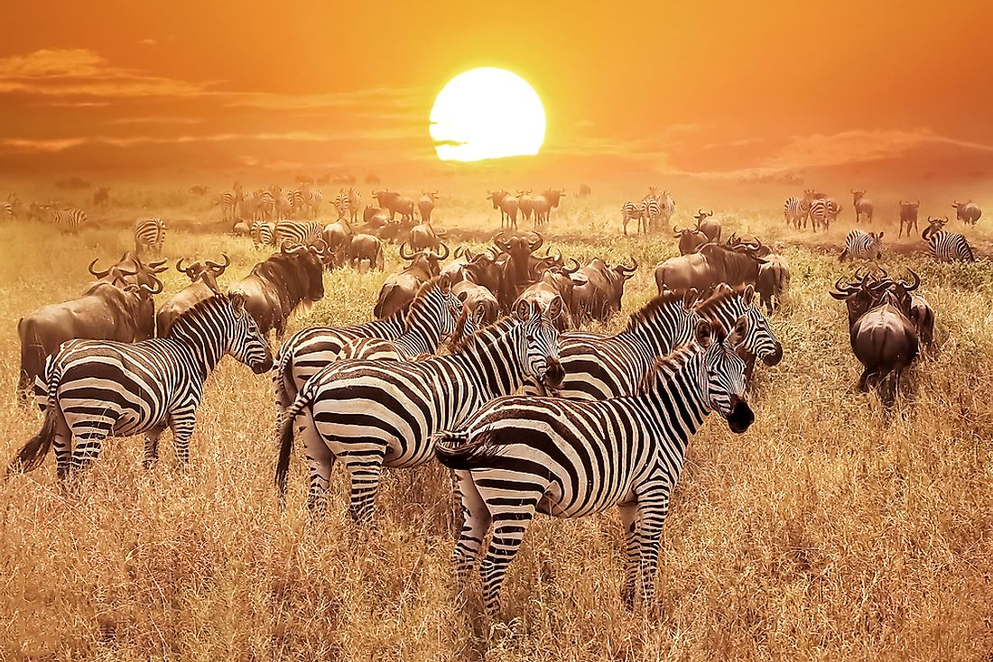 Zebras in the Serengeti.