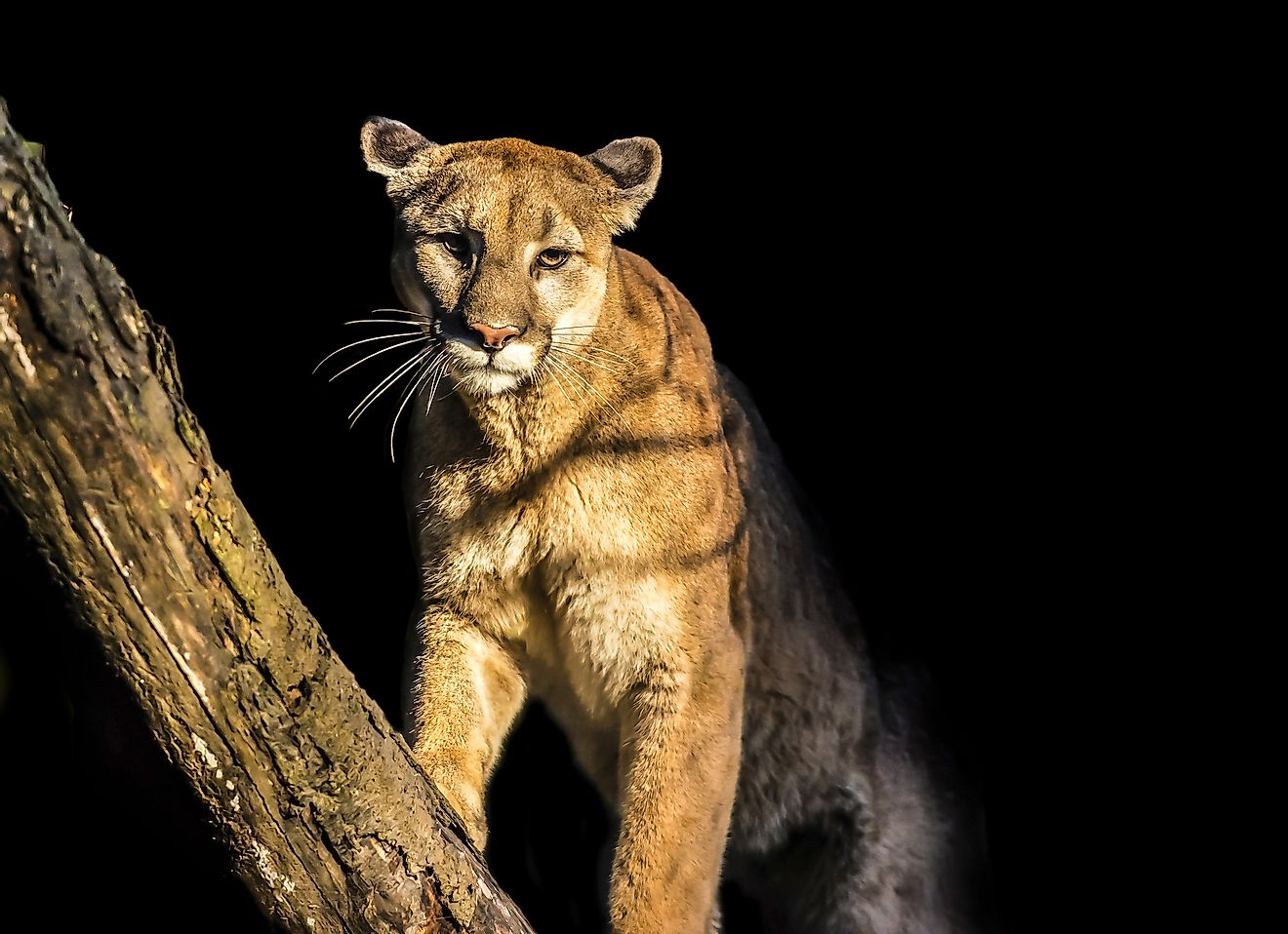 A gorgeous adult mountain lion. Image credit: Kris Wiktor/Shutterstock.com