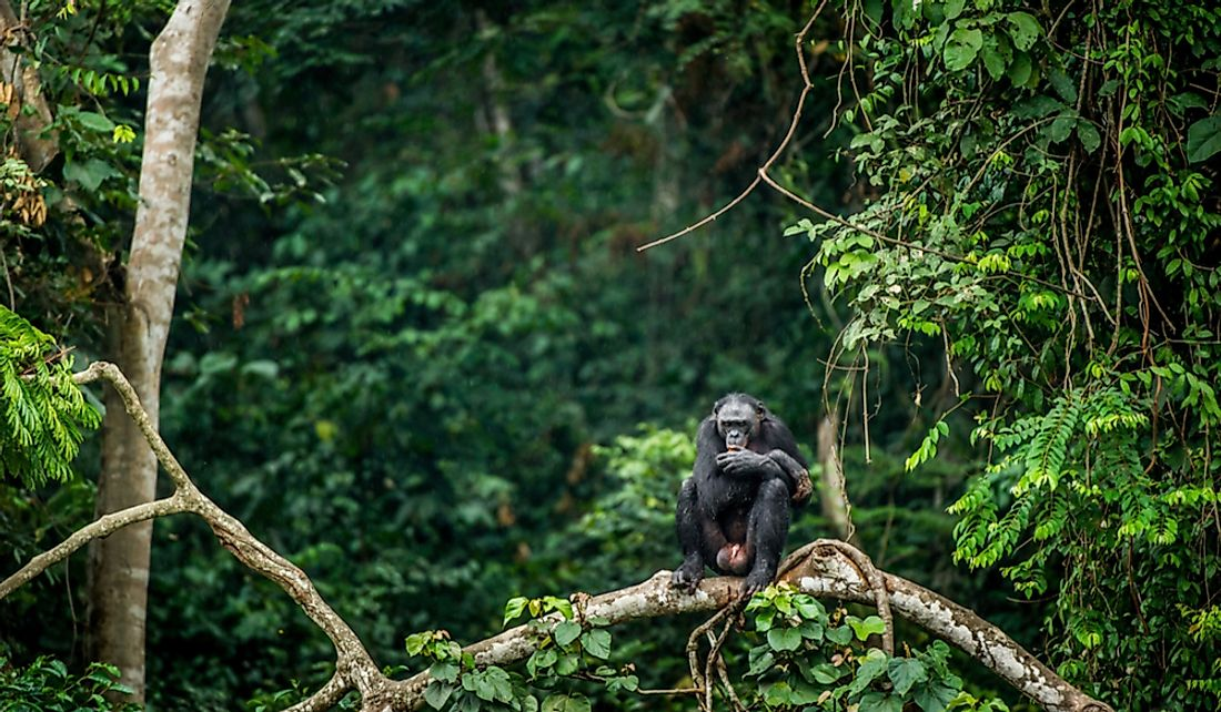 A bonobo in the Congo Rainforest in the Democratic Republic of Congo, Africa.