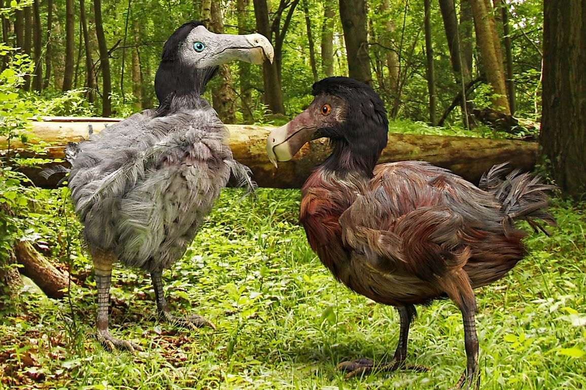 The Little Dodo is genetically similar to the extinct dodo (Raphus cucullatus) of the island of Mauritius.