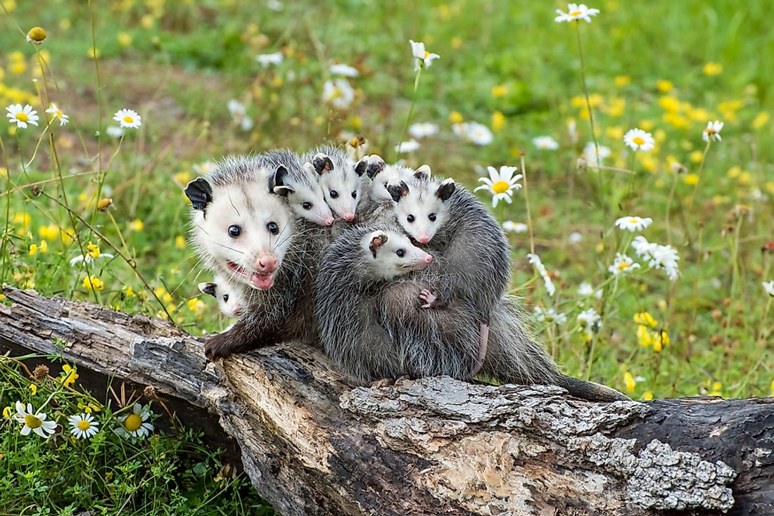 Opossum mother with her babies riding on her back.