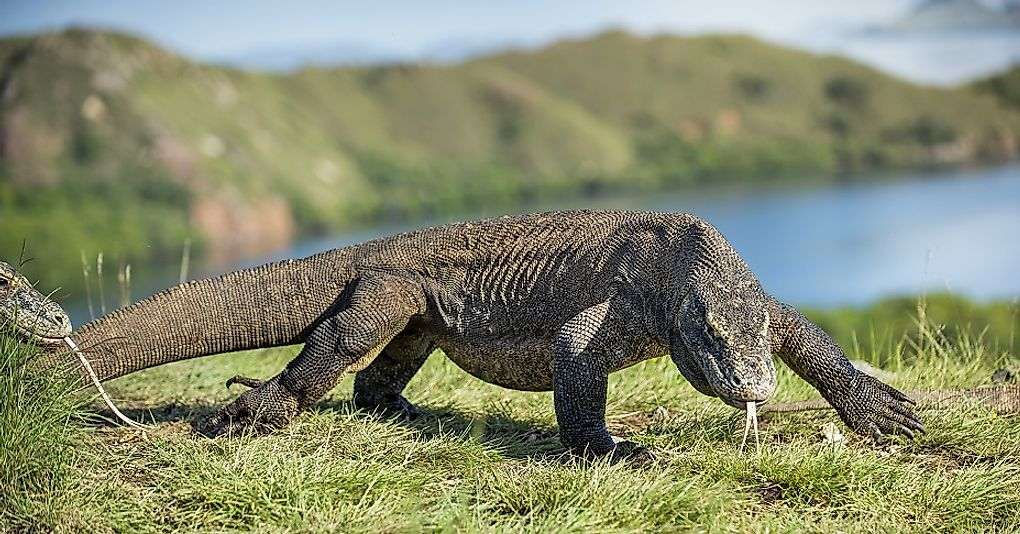 The massive Komodo Dragon is one of Indonesia's most famous reptiles.